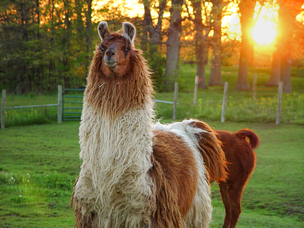Brown And White Sunset Llama Photography Art | Eric Hatch