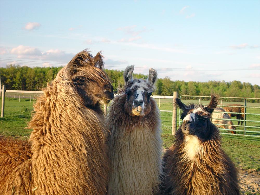 Three Llama Amigos Photography Art | Eric Hatch