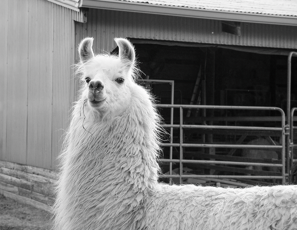 Lady Llama Bw Photography Art | Hatch Photo Artistry LLC