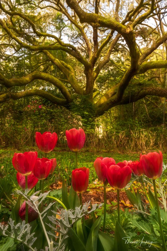 Tulips And Oak Photography Art | Thomas Yackley Fine Art Photography