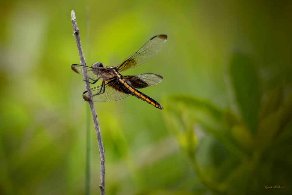 Dragonflies  6608  Art | Koral Martin Fine Art Photography