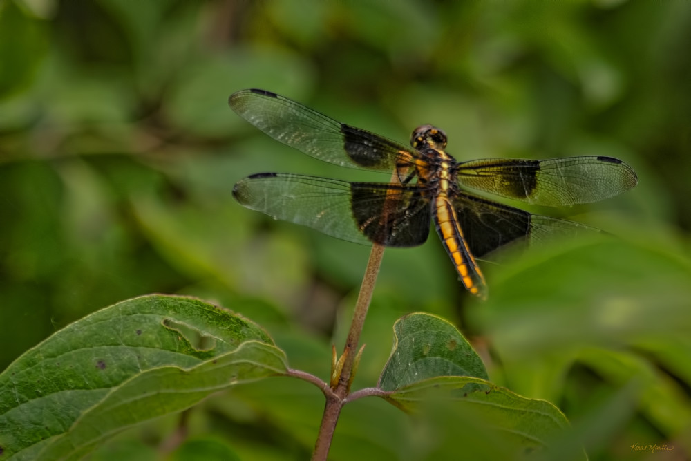 Dragonflies  6637  Art | Koral Martin Fine Art Photography