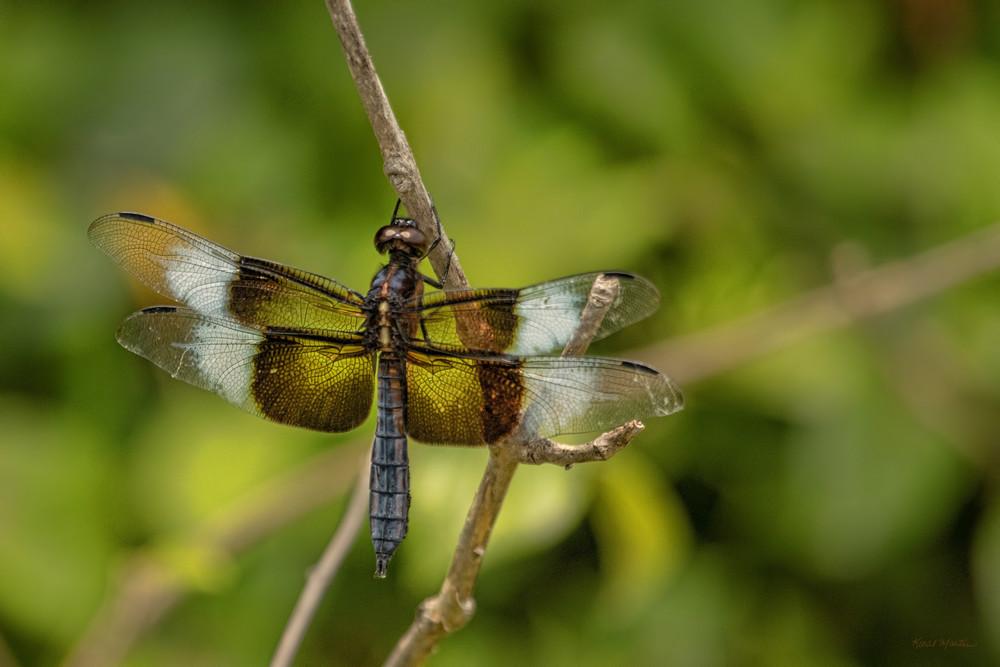 Dragonflies  6734  Art   Koral Martin Fine Art Photography