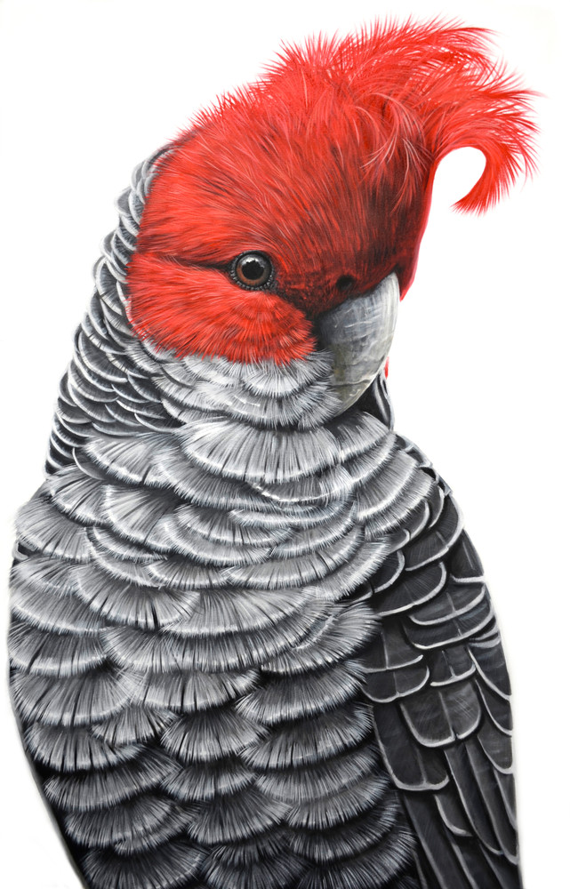 Gaspar - Gang-Gang Cockatoo