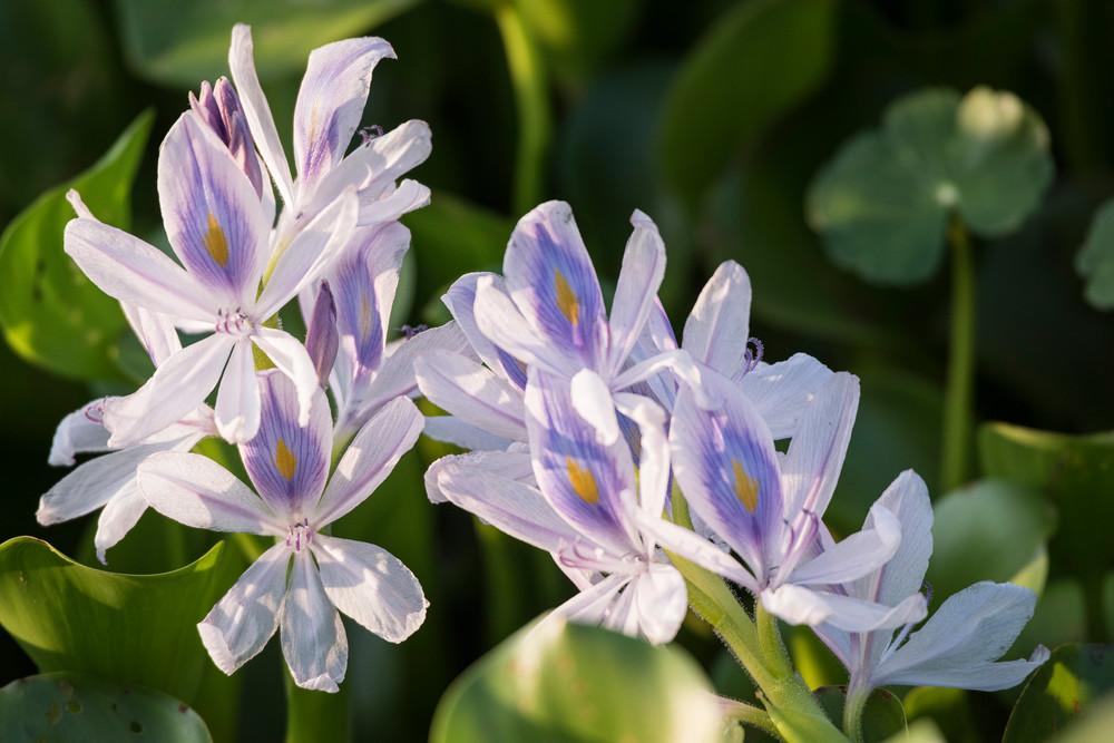 Hyacinth Flowers, Damon, Texas