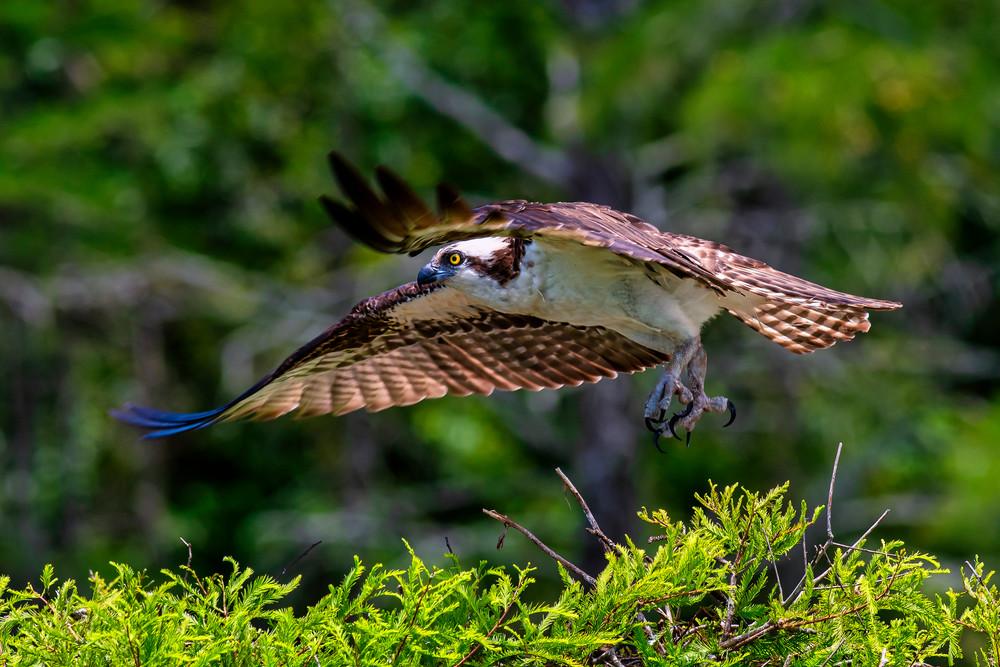 Osprey liftoff fine-art photography prints