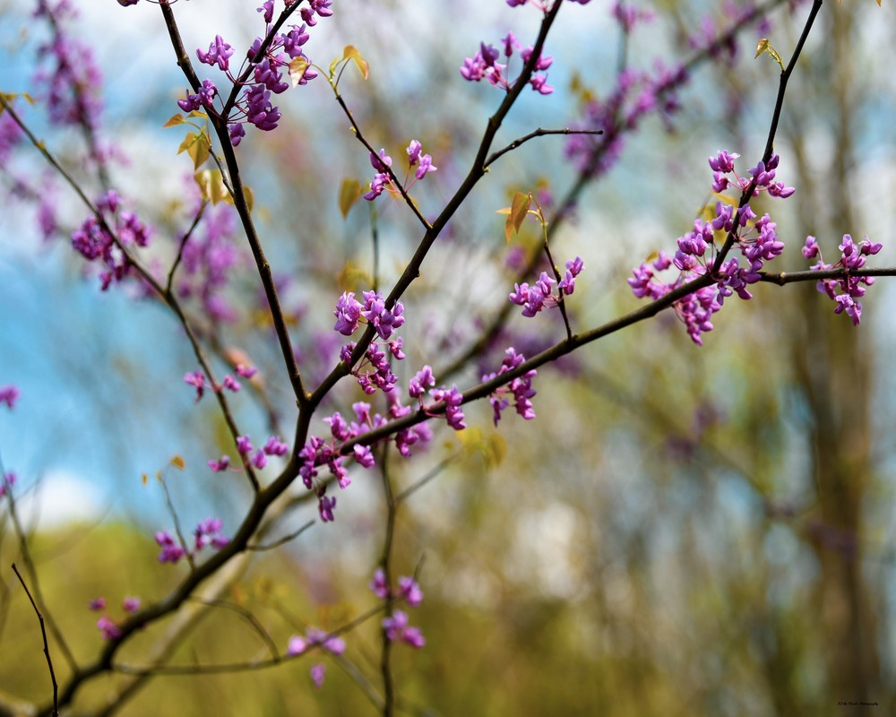 Redbud In Bloom Photography Art | N2 the Woods Photography