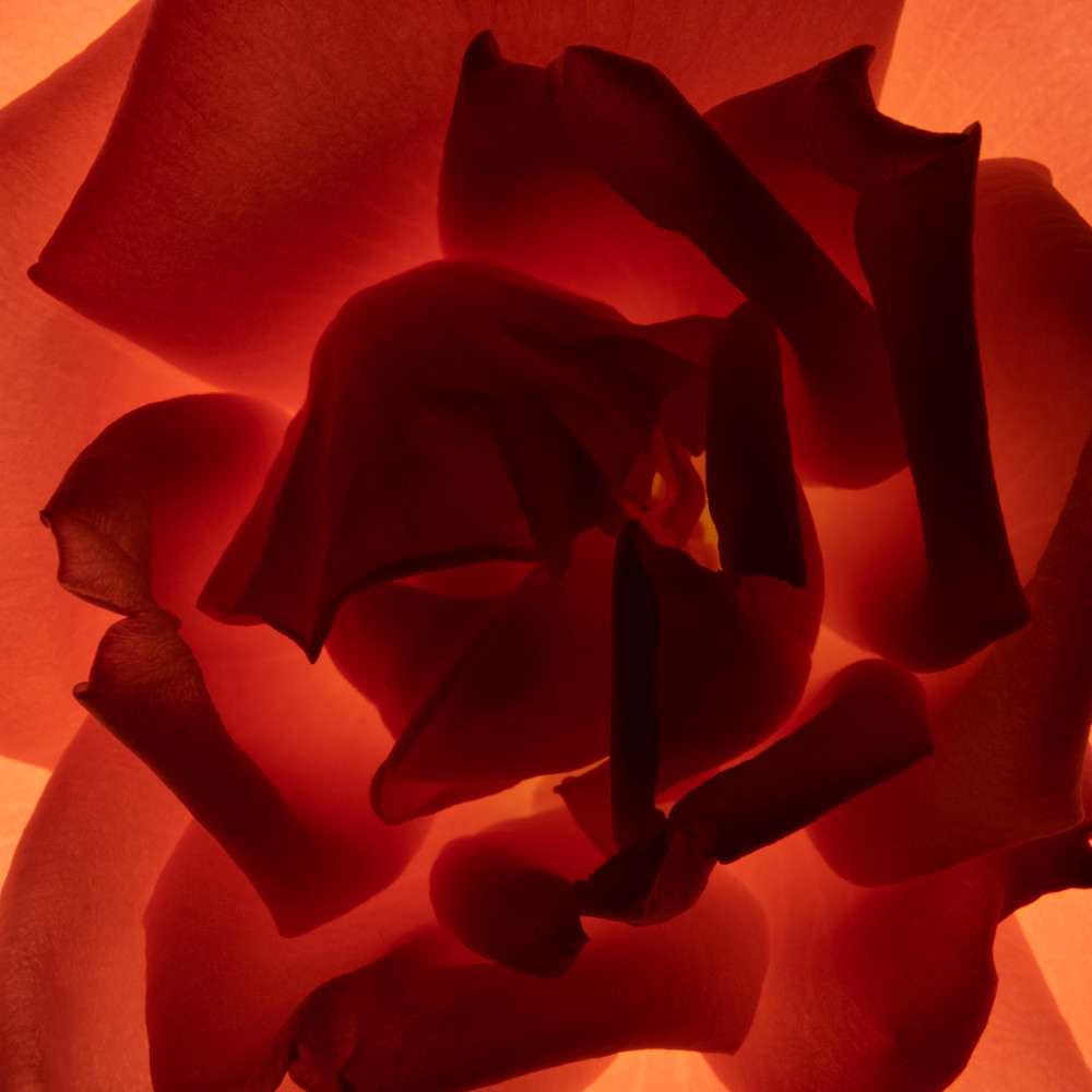 Rose Photography Art | Spry Gallery
