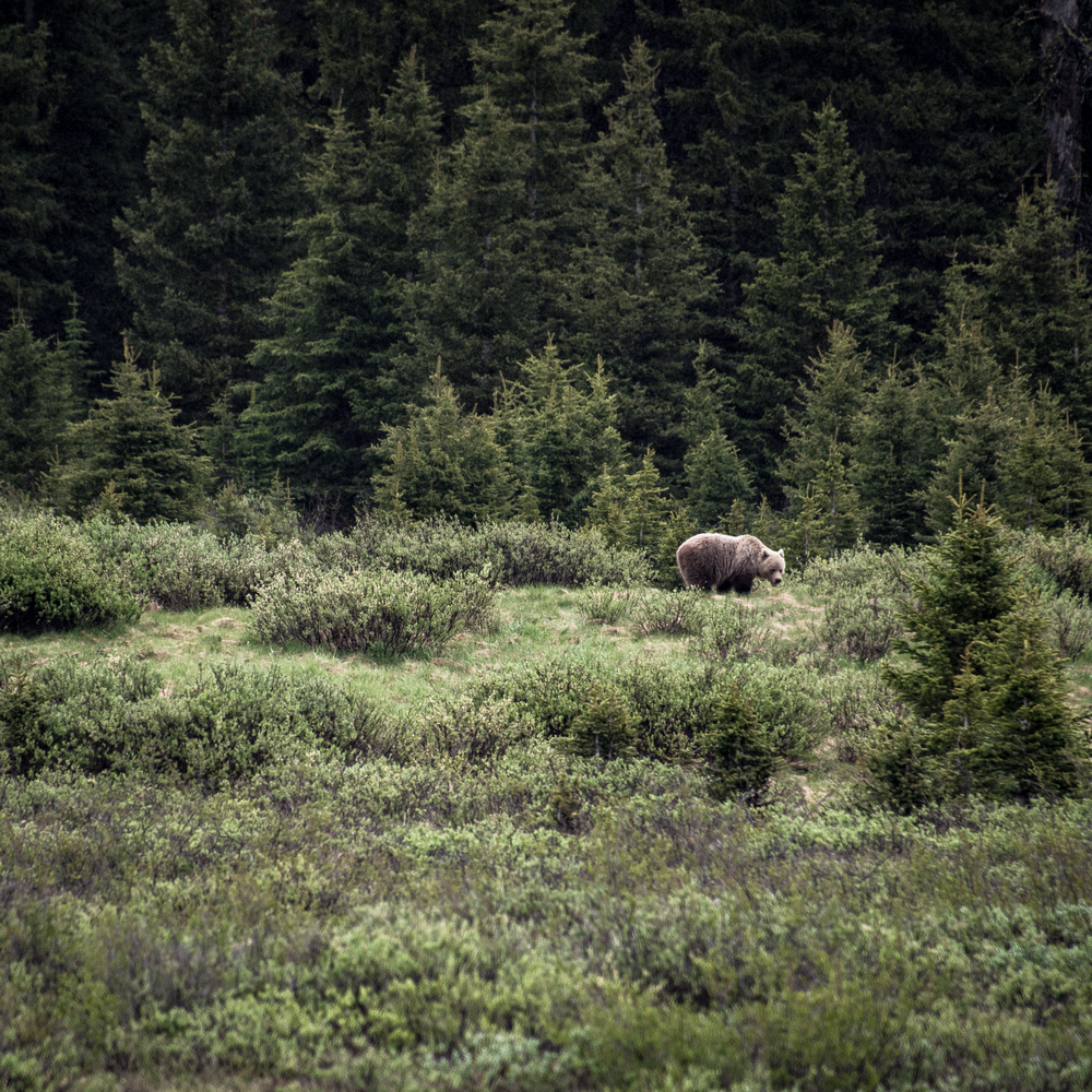 Canadian Grizzly Bear Photography Art | Eric Hatch