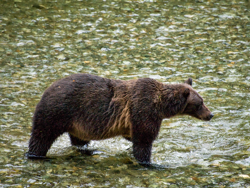 Grizzly Bear Hunting For Breakfast Photography Art | Eric Hatch