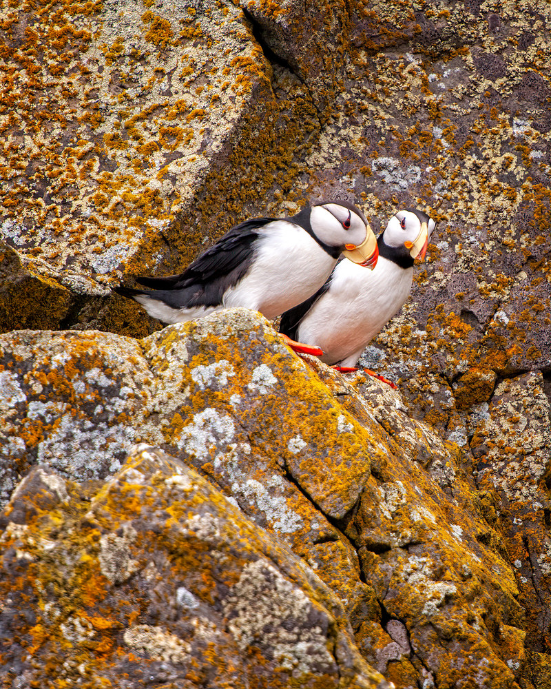 A Pair Of Puffins Photography Art | Carol Brooks Parker Fine Art Photography