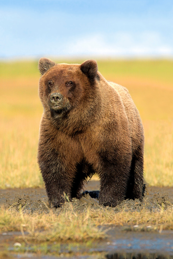 Alaskan Costal Grizzly (Plate #1) Photography Art | Nature's Art Productions