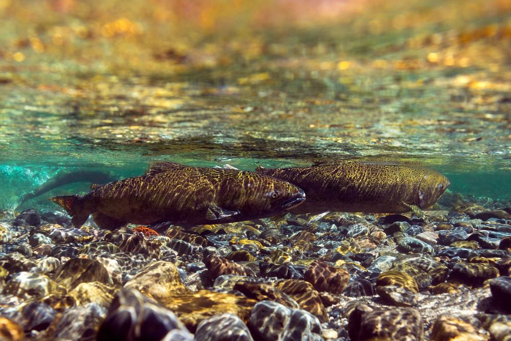 Chinook # 9274 Photography Art   Mary Edwards Photography