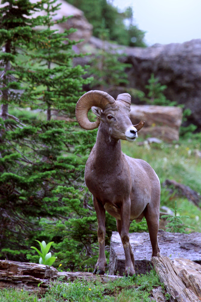 Big Horn Sheep   # 1583 Photography Art | Mary Edwards Photography