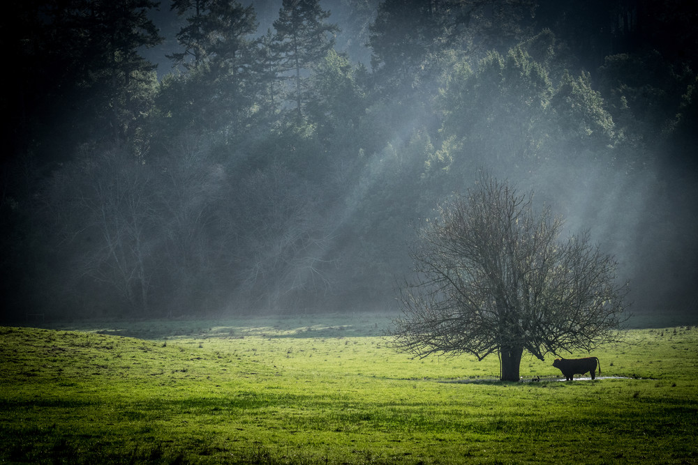 Alone - sun rays break through storm clouds lighting a lone steer photograph print