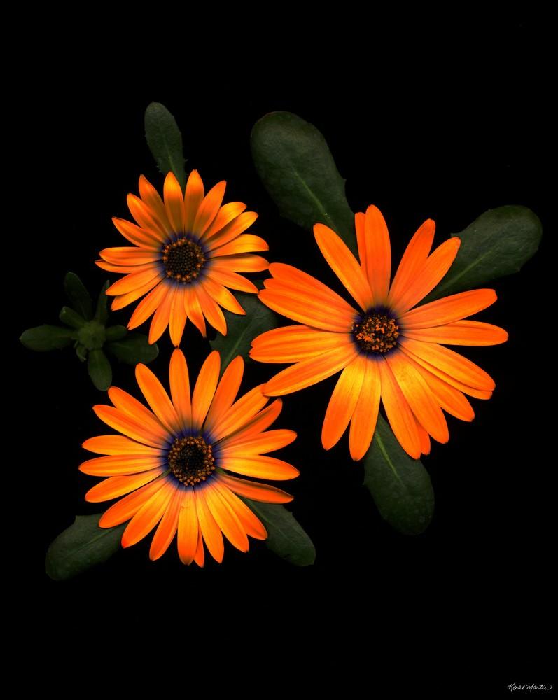 Daisygroupmultiply  Photography Art | Koral Martin Healthcare Art