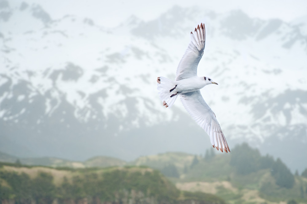 Kittiwake In An Alaskan Landscape Composite 1 Photography Art | Carol Brooks Parker Fine Art Photography