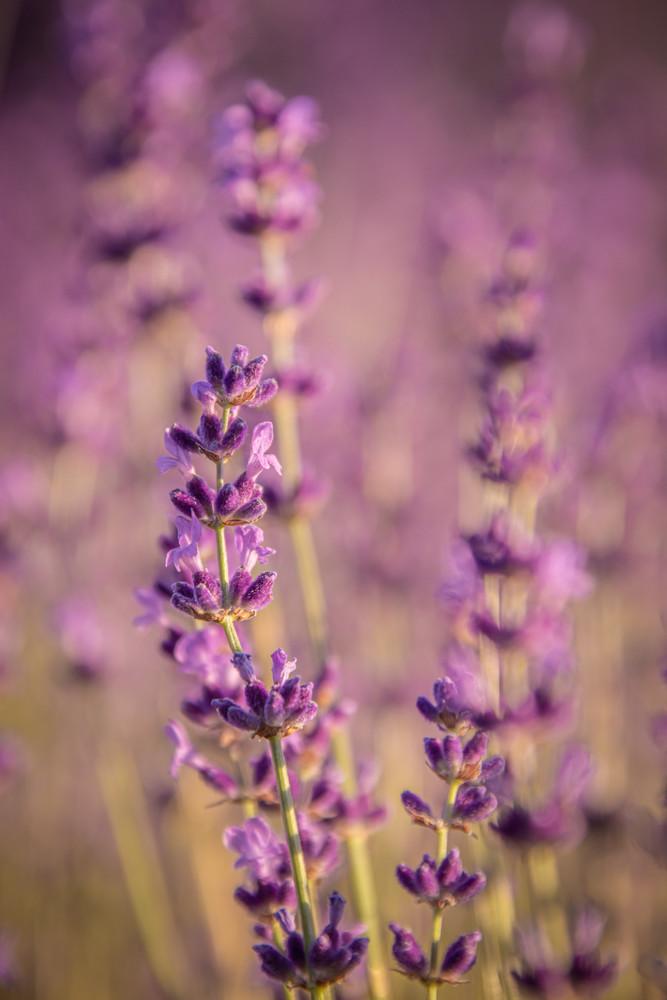 Fragrant Blooms of Purple