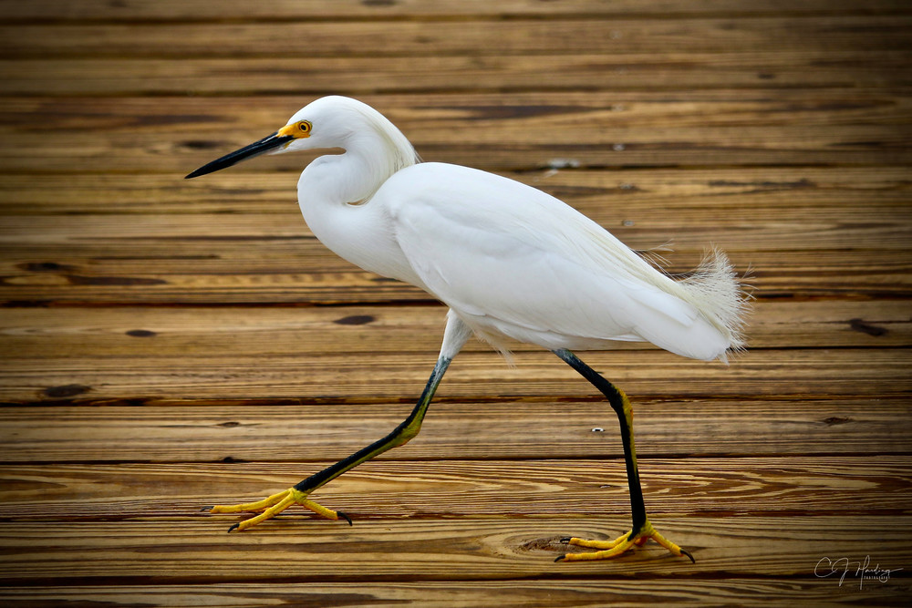 Great White Egret Dock Signed Photography Art   CJ Harding