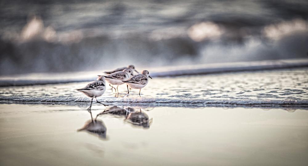 Sand Piper Birds on the beach