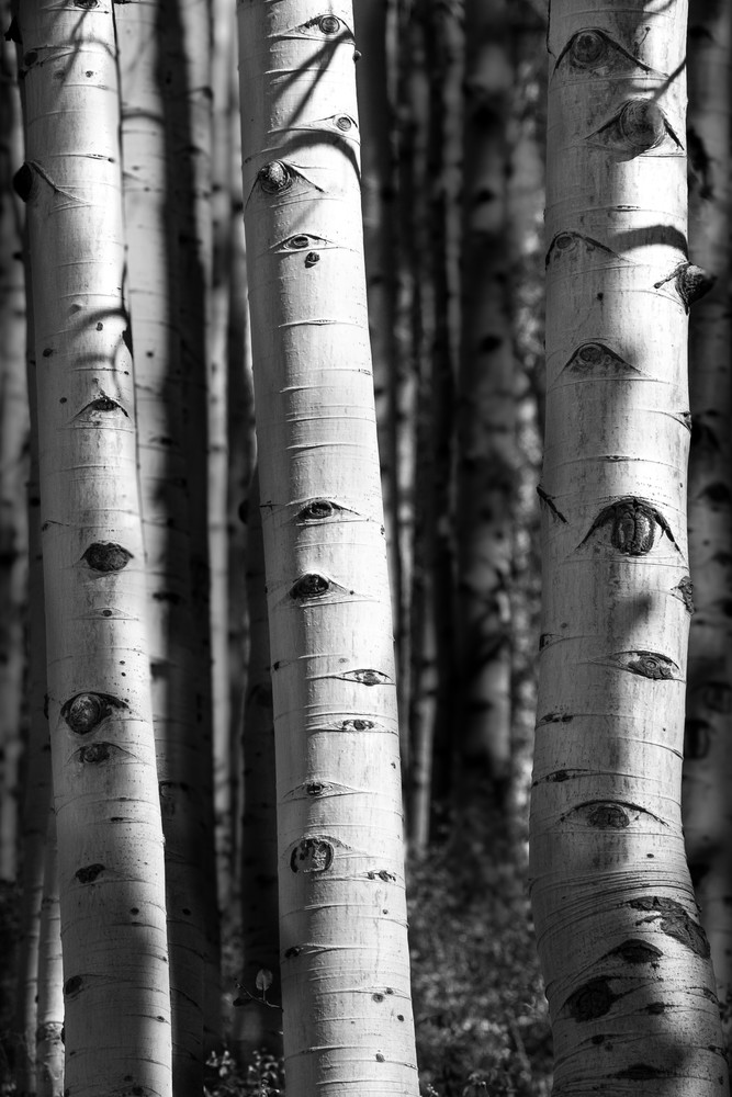The Aspen Are Watching Photography Art | Kirk Fry Photography, LLC