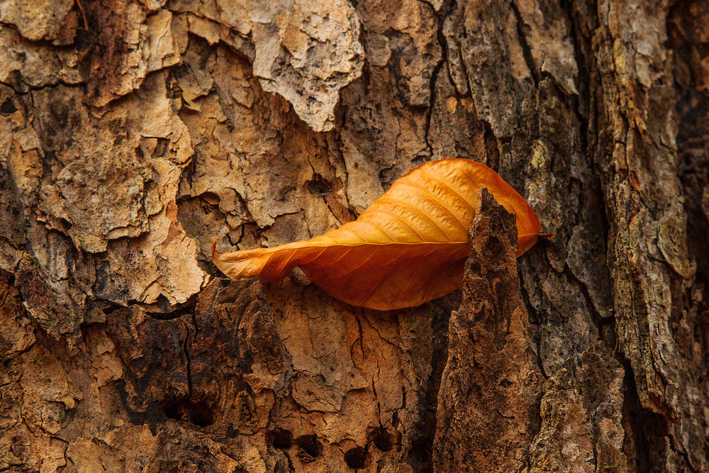 Leaf In Bark Photography Art | Nelson Rudiak Photography