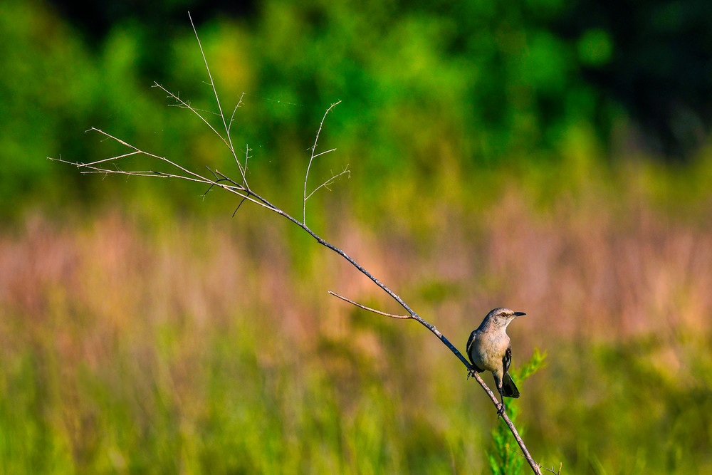 Balanced - Northern mockingbird fine-art photography prints