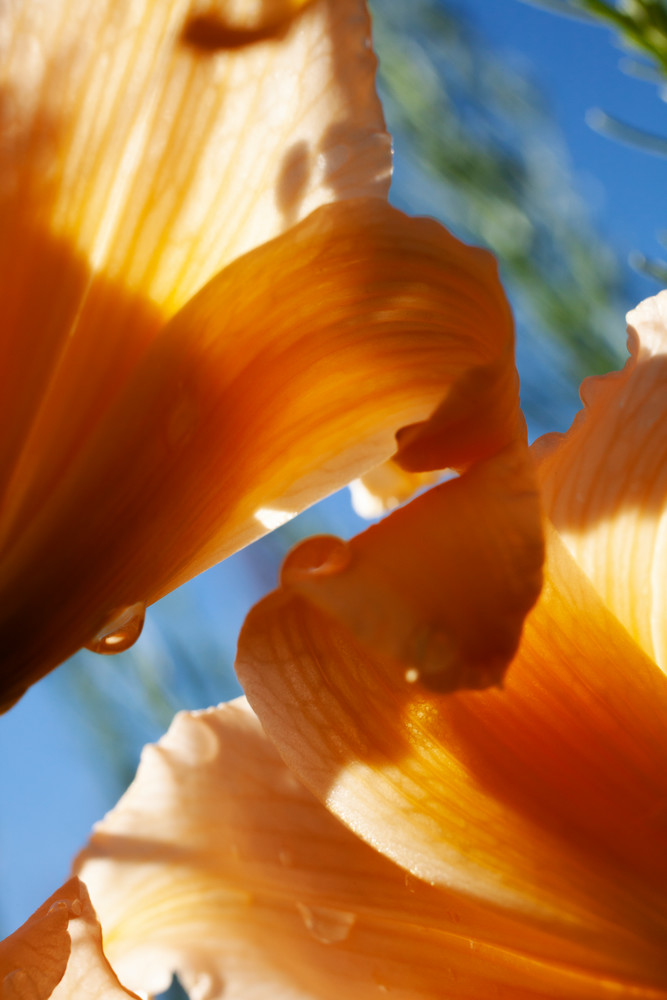Day Lily And Sun Photography Art | Christopher Grey Studios