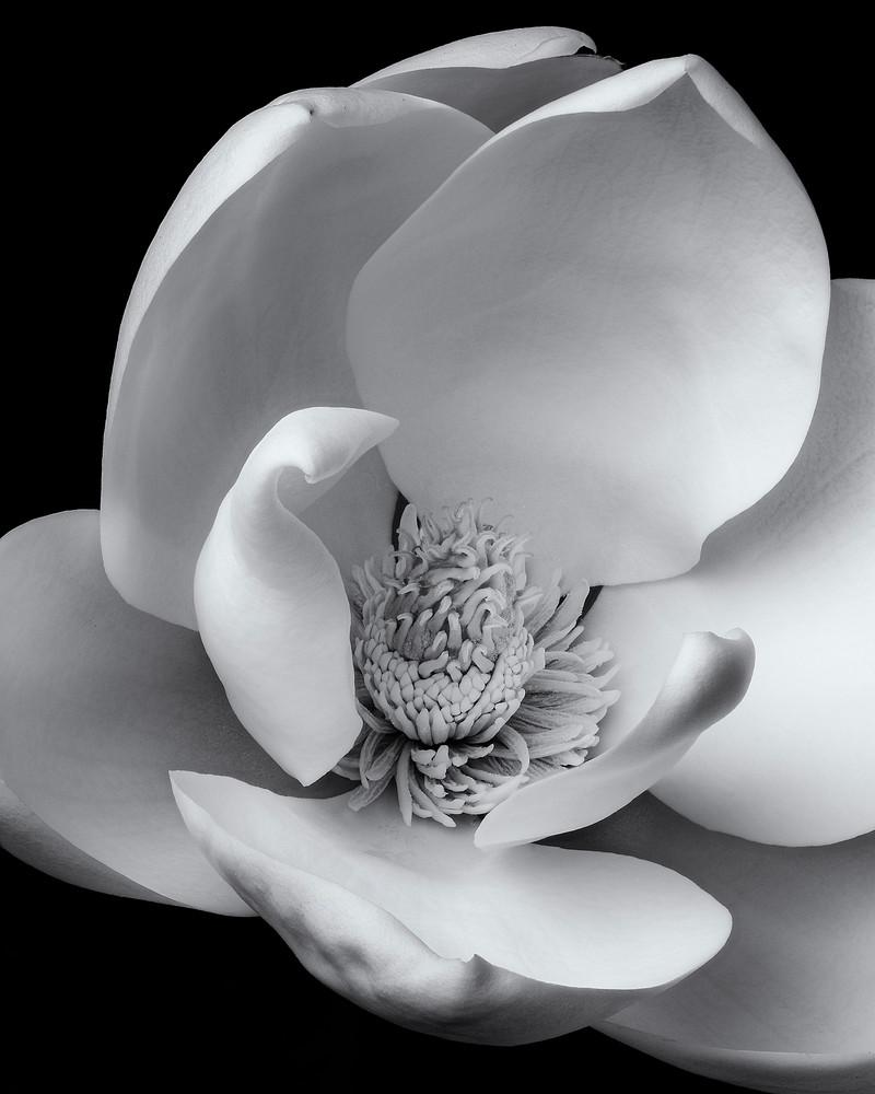 Magnolia Bloom Art | James Patrick Pommerening Photography