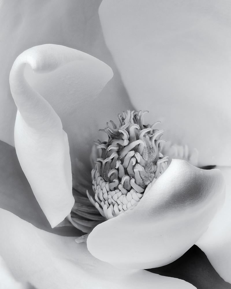 Magnolia Pistil 2 Art | James Patrick Pommerening Photography