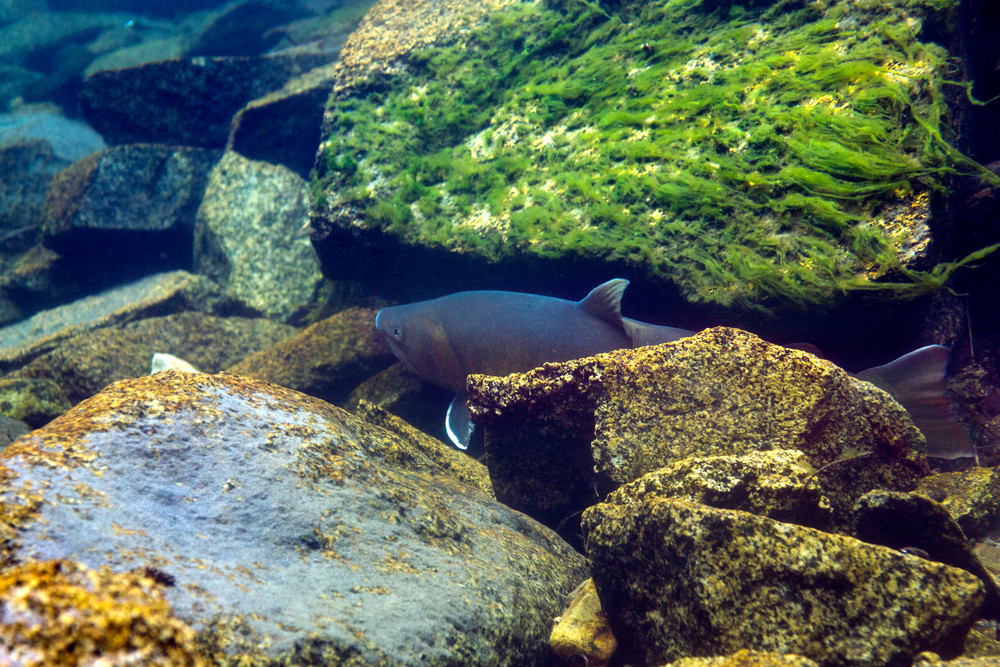 Bull Trout # 6878 Photography Art | Mary Edwards Photography
