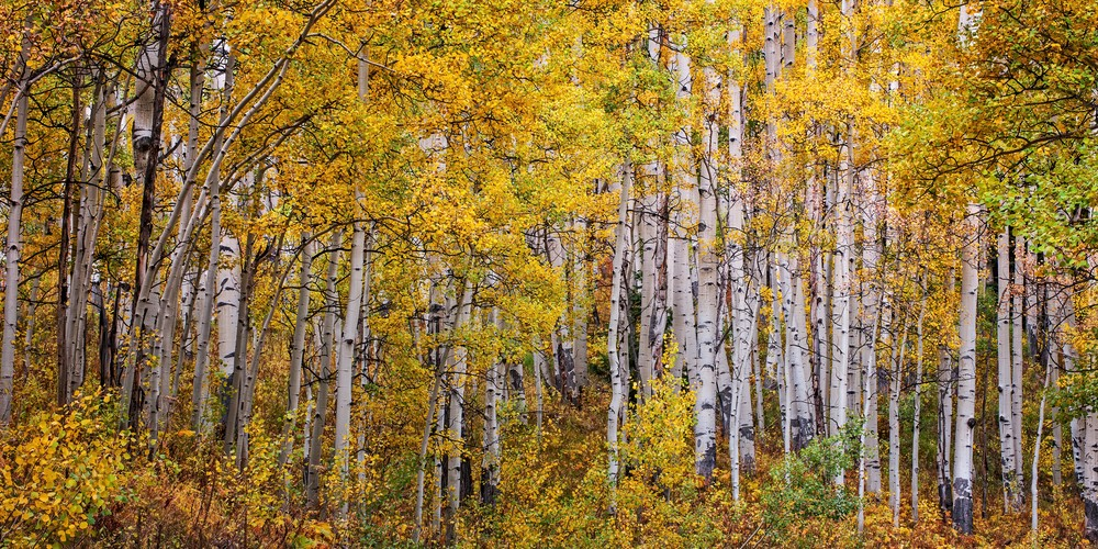 Grove Of Gold Semi Panorama Photography Art | Ken Smith Gallery