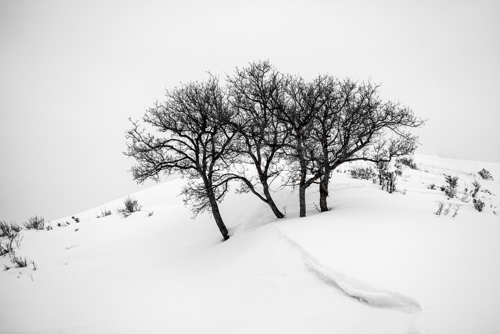Photograph of trees, Snow, Colorado, Black and white