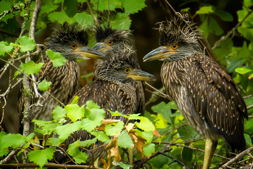 Juvenile Yellow Crowned Night Heron in Nest