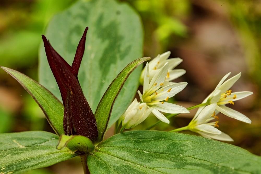 Trillium White Flowers5787 V2  Photography Art | Koral Martin Healthcare Art