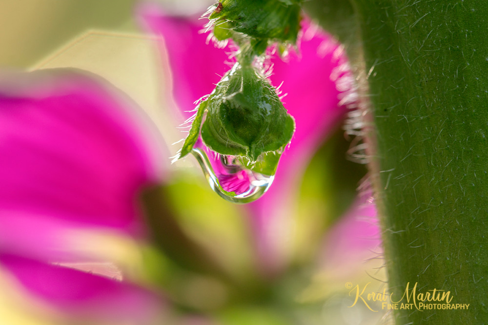 Mallow Waterdrop 6147  Photography Art | Koral Martin Healthcare Art