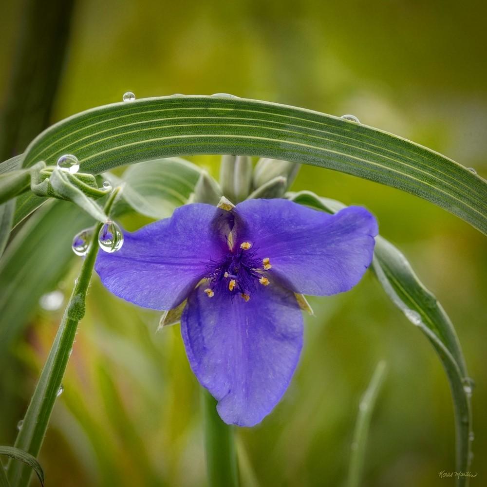 Spiderwort Waterdrop 0911 13 Square  Photography Art | Koral Martin Healthcare Art