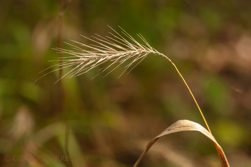 Grass Seed Head 0631  Photography Art | Koral Martin Healthcare Art