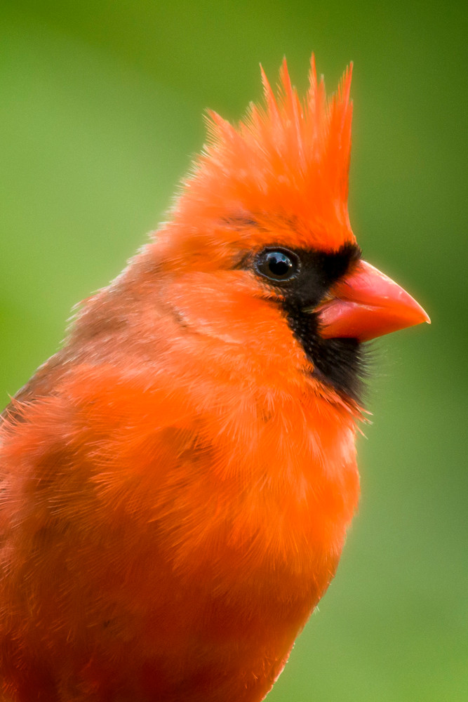 Northern Red Cardinal Head Shot