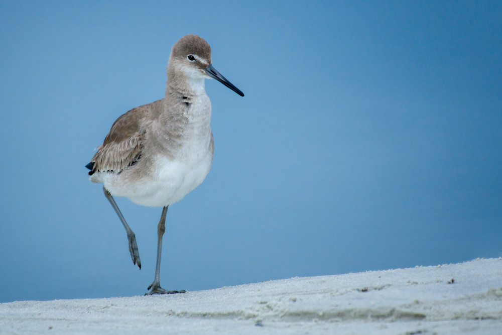 Willet Strolling on Beach