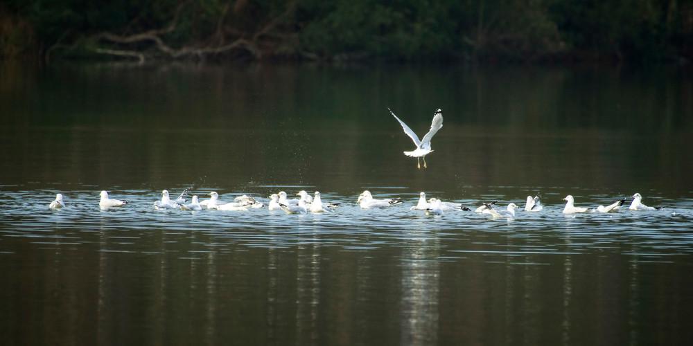 Flock of Ring Billed Gulls in Lake