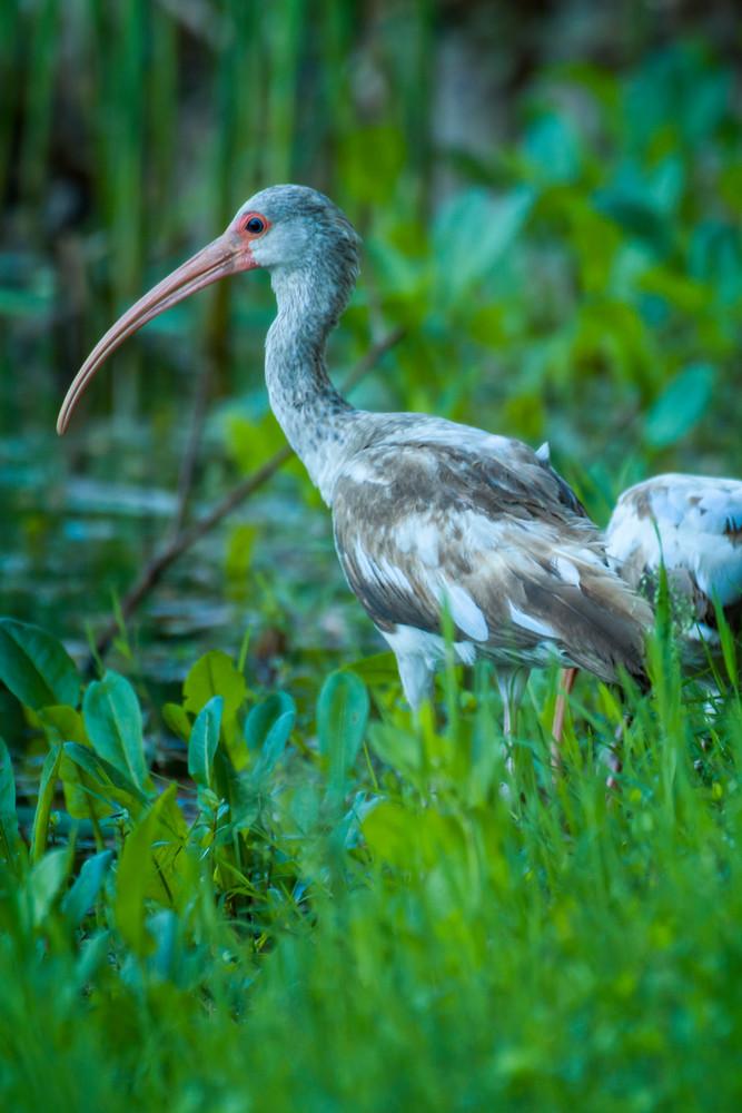 Juvenile White Ibis at the Edge of Pond