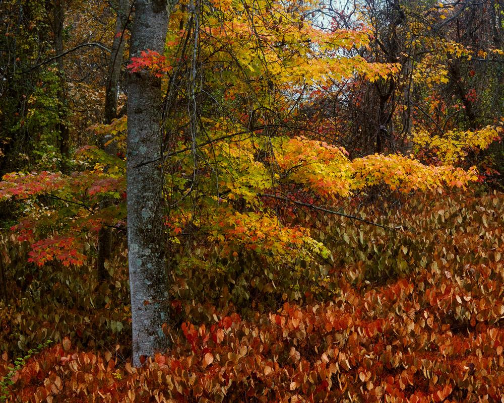 West Virginia Red Maple Print
