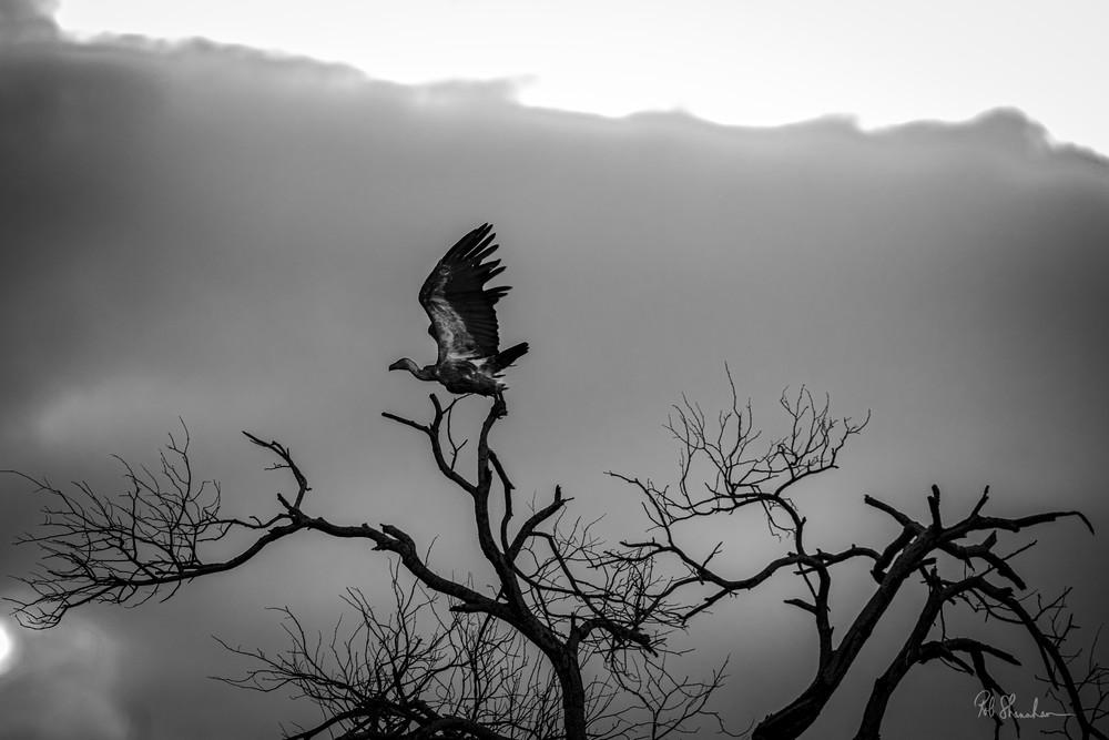 Cape griffon vulture art gallery photo prints by Rob Shanahan
