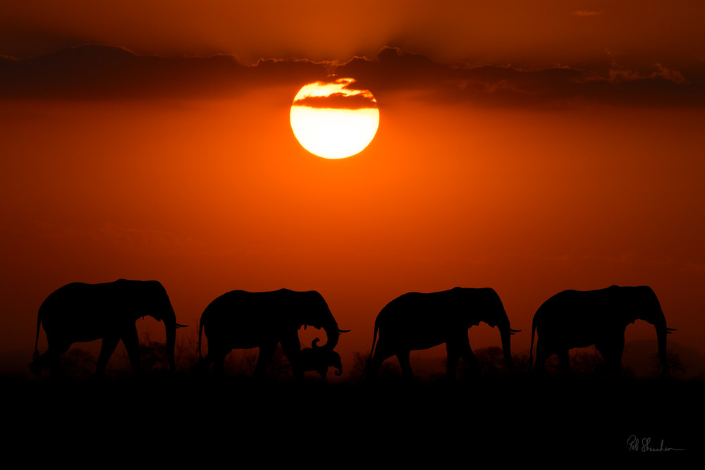 Elephants sunset art gallery photo prints by Rob Shanahan