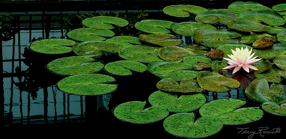 Lily Pad Waltz - Image of Lily Pads Photo by Terry Rosiak