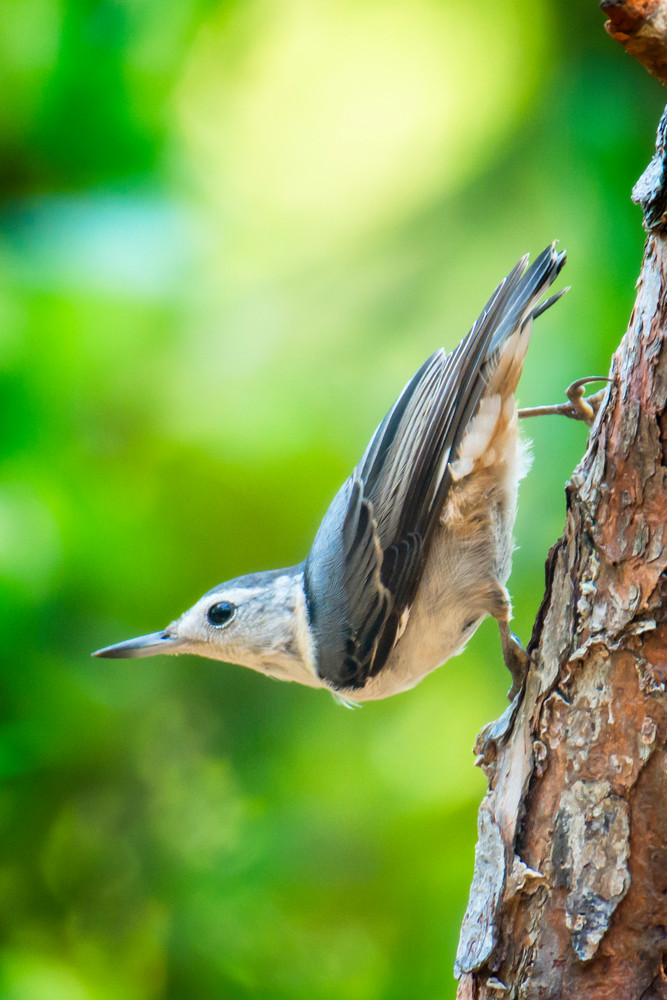 White Breasted Nuthatch Striking a Pose