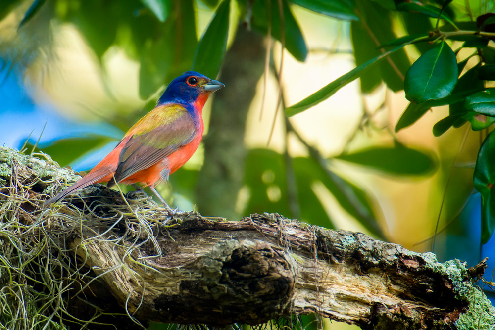 Male Painted Bunting on Oak Tree Branch