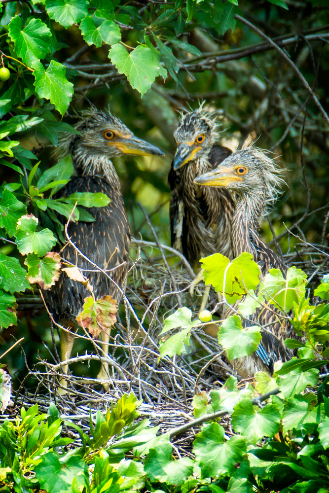 Three Juvenile Yellow Crowned Night Heron in Nest