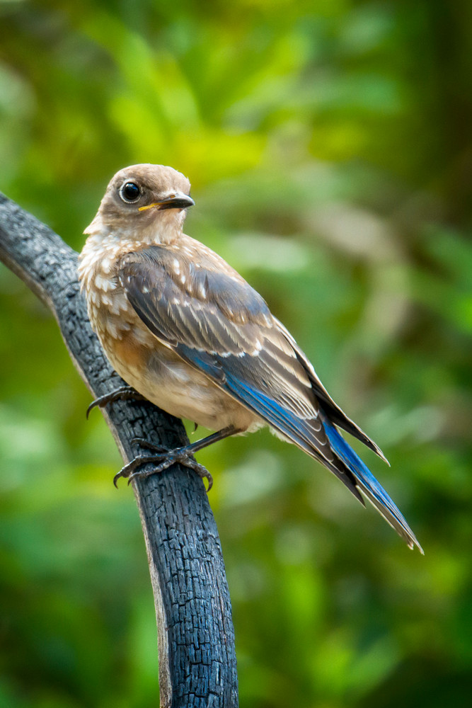 Juvenile Eastern Bluebird on Branch